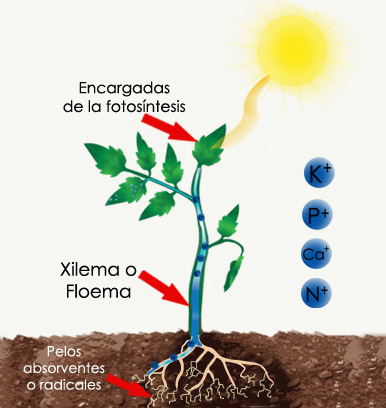 hidroponia te mostramos en este esquema los procesos de toma de agua como nutrientes para su desarrollo en suelo