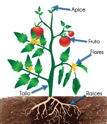 Gu a deficiencia de los nutrientes en las plantas for Cuales son las partes de un arbol