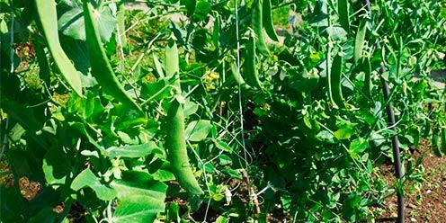 guía: cultivo de chicharo. : .: hydro environment .: hidroponia en