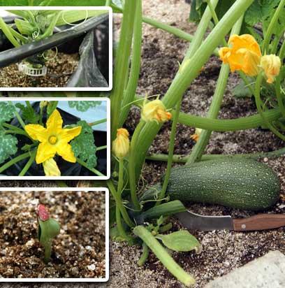 Gu a para el cultivo de calabaza hidrop nica hydro for Como se desarrolla un arbol