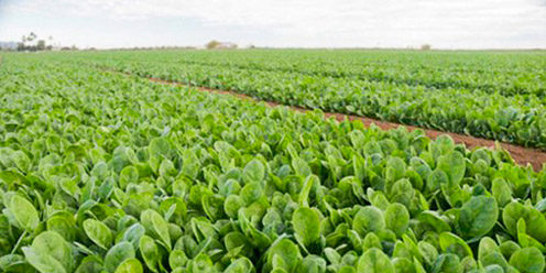 guía: Cultivo de Espinaca : .: Hydro Environment .: