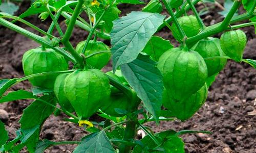 Como sembrar arracacha, consejos de cultivo y cosecha
