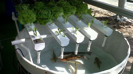 Guia acuaponia hydro environment hidroponia en mexico for Criadero de peces en casa