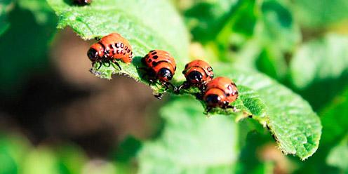 Guía: Tipos de plagas en cultivos : .: Hydro Environment .: