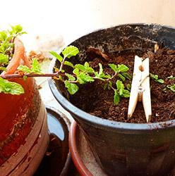 Guia cultivo de plantas y hortalizas por acodo for Plantas hortalizas ejemplos
