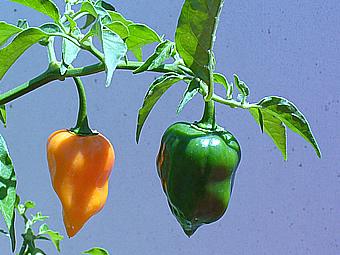 el cultivo de chile habanero: